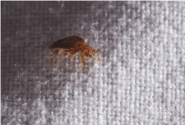 A bed bug on a fabric