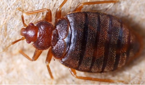 a close up of an adult bed bug