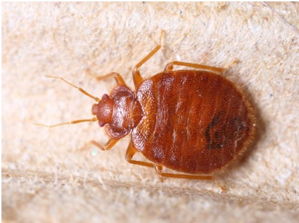 Home Remedies For Bed Bugs How To Get Rid Of Bed Bugs Fast