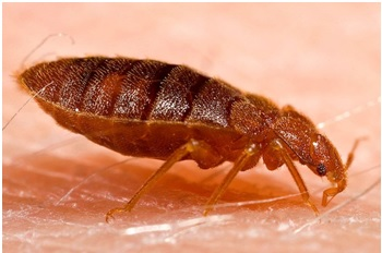 Feeding bed bug