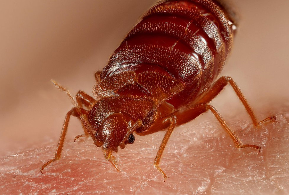 close-up photo of a bed bug 2